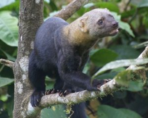 The Tayra - a powerful and playful animal.